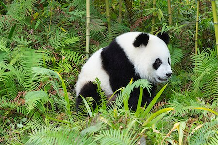 Two years aged young giant panda (Ailuropoda melanoleuca), China Conservation and Research Centre, Chengdu, Sichuan, China, Asia Stock Photo - Premium Royalty-Free, Code: 6119-08420395