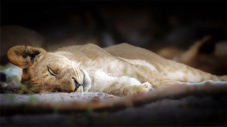 Sleeping lion cub, Chobe National Park, Botswana, Africa Stock Photo - Premium Royalty-Free, Code: 6119-08797272