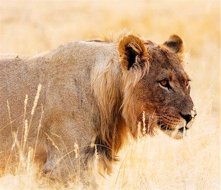 Young lion (Panthera leo), Kgalagadi Transfrontier Park, Kalahari, Northern Cape, South Africa, Africa Stock Photo - Premium Royalty-Free, Code: 6119-08797469