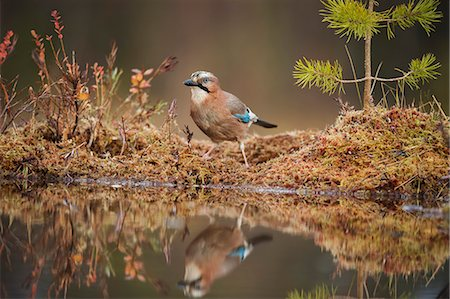 Jay (Garrulus glandarius), Sweden, Scandinavia, Europe Stock Photo - Premium Royalty-Free, Code: 6119-08841134