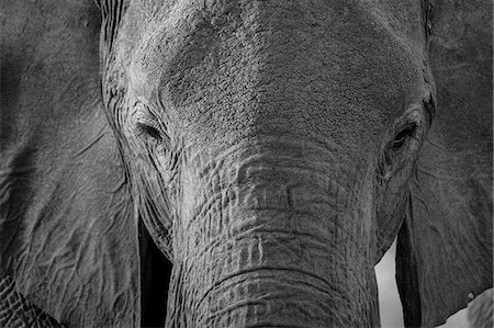 Close-up portrait of an African elephant (Loxodonta africana), Khwai Concession, Okavango Delta, Botswana, Africa Stock Photo - Premium Royalty-Free, Code: 6119-08841224