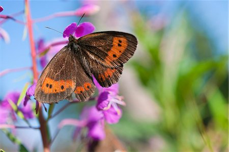 Scotch Argus Butterfly perching on fireweed Stock Photo - Premium Royalty-Free, Code: 6121-07914044