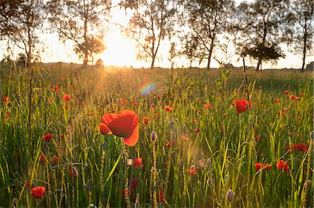 Red poppies growing in a field during sunset, Bavaria, Germany Stock Photo - Premium Royalty-Free, Code: 6121-08228778