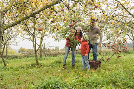 family apple orchard - Family picking apples from apple tree in an apple orchard, Bavaria, Germany Stock Photo - Premium Royalty-Free, Code: 6121-08522243