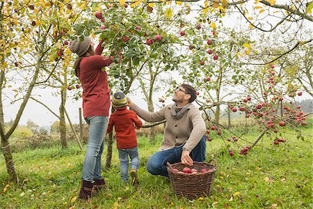 family apple orchard - Family picking apples in an apple orchard, Bavaria, Germany Stock Photo - Premium Royalty-Free, Code: 6121-08522242