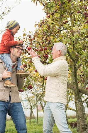 family apple orchard - Father, son and grandfather picking apples from apple tree in an apple orchard, Bavaria, Germany Stock Photo - Premium Royalty-Free, Code: 6121-08522246