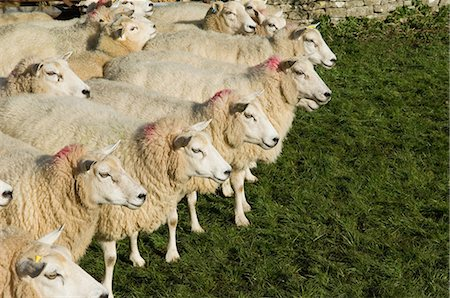 domestic sheep - Flock of sheep standing together Stock Photo - Premium Royalty-Free, Code: 6122-07705867