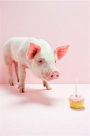 Piglet looking at birthday cake in studio Stock Photo - Premium Royalty-Free, Code: 6122-08212606