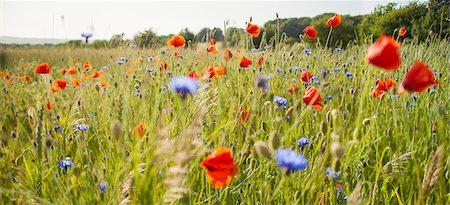 spring - Sweden, Skane, Slimminge, View of flowers in meadow (Papaver rheas, Cyanus segetum) Stock Photo - Premium Royalty-Free, Code: 6126-08635732
