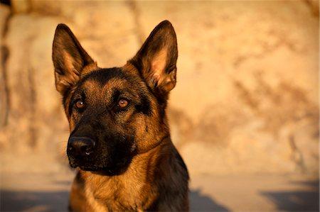 dog in heat - Portrait of German Shepherd dog against rocky background. Stock Photo - Premium Royalty-Free, Code: 6128-08781030