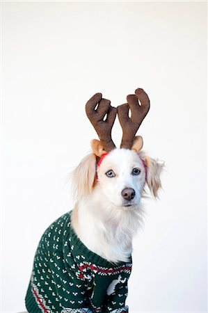 Dog in ugly Christmas sweater Stock Photo - Premium Royalty-Free, Code: 613-07458851