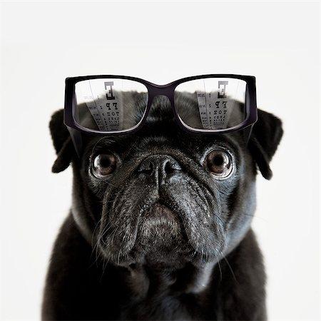 pvg - Pedigree Pug tries to read an optician's eye chart Stock Photo - Premium Royalty-Free, Code: 613-07673860