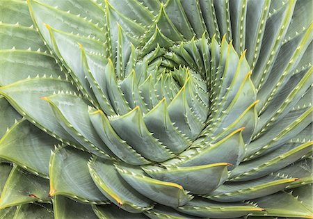 spiral - Spiral Aloe (Aloe polyphylla) Stock Photo - Premium Royalty-Free, Code: 613-07734748