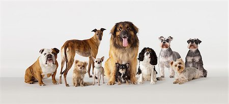 Group portrait of dogs Stock Photo - Premium Royalty-Free, Code: 613-08057293
