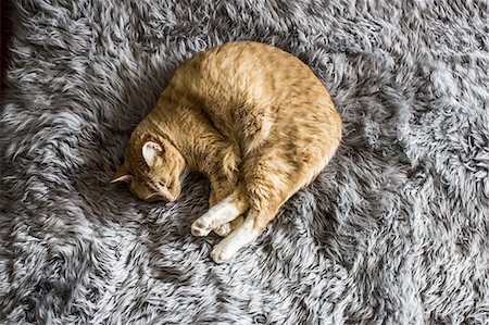 pictures cats - A cat napping Stock Photo - Premium Royalty-Free, Code: 613-08387111