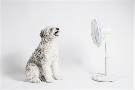 dog in heat - Bianca loves  the fan. Stock Photo - Premium Royalty-Free, Code: 613-08387307