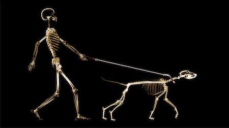dog x-ray - X-ray of dog on leash pulling master Stock Photo - Premium Royalty-Free, Code: 613-00303181