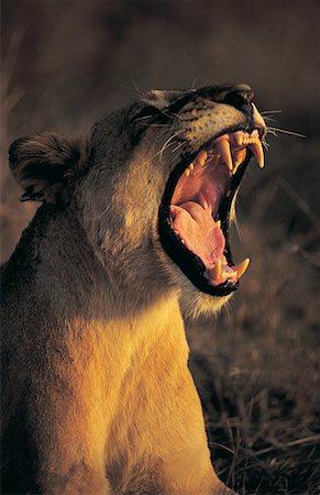 roar lion head picture - Female lion (Panthera Leo) Stock Photo - Premium Royalty-Free, Code: 613-00705493