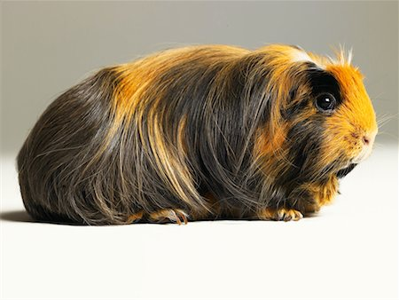 Long haired ginger, black and white guinea pig Stock Photo - Premium Royalty-Free, Code: 613-00916492