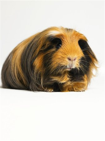 Long haired ginger, black and white guinea pig against white background Stock Photo - Premium Royalty-Free, Code: 613-00916606