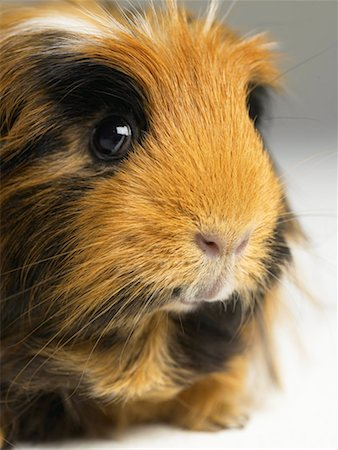 Long haired ginger, black and white guinea pig, close-up Stock Photo - Premium Royalty-Free, Code: 613-00916677