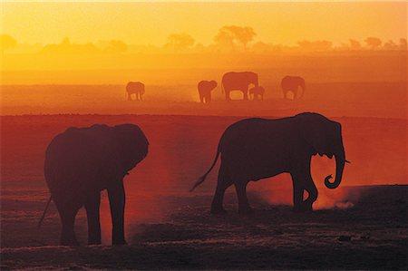 African Elephants at Sunset (Loxodonta africana), Chobe National Park, Botswana, Africa Stock Photo - Premium Royalty-Free, Code: 613-00960750