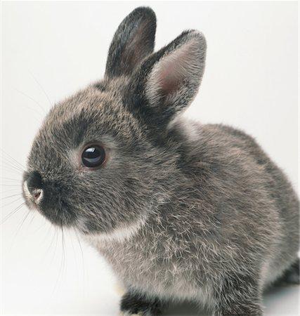 Gray rabbit, close-up Stock Photo - Premium Royalty-Free, Code: 613-01474284