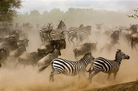 Zebras and wildebeest running from predator, side view Stock Photo - Premium Royalty-Free, Code: 613-01474581