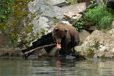 Grizzly bear (Ursus arctos horribilis) eating a salmon Stock Photo - Premium Royalty-Free, Code: 625-01745544