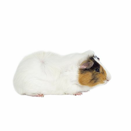 Close up of a guinea pig Stock Photo - Premium Royalty-Free, Code: 627-01067797