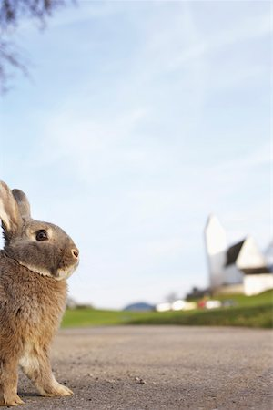 Grey rabbit sitting on a road, selective focus Stock Photo - Premium Royalty-Free, Code: 628-01278653