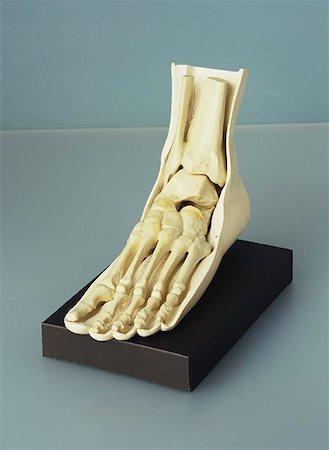 foot model - Anatomical Foot Model Stock Photo - Premium Royalty-Free, Code: 621-00729882