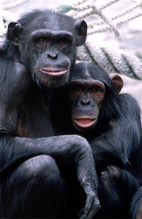 smiling chimpanzee - Chimpanzees Stock Photo - Premium Royalty-Free, Code: 621-00737410