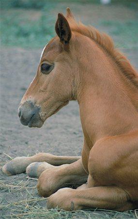 Foal Resting Stock Photo - Premium Royalty-Free, Code: 621-00739613