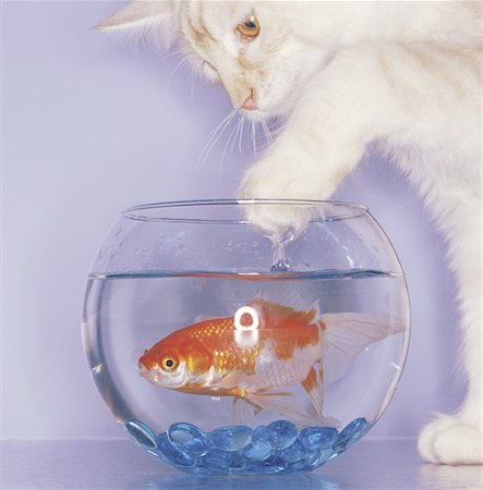 enemy - Naughty Cat Dipping Its Paw into the Fishbowl Stock Photo - Premium Royalty-Free, Code: 621-00792751