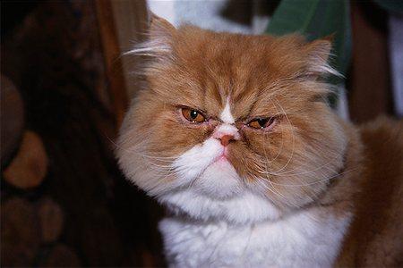 Persian cat Stock Photo - Premium Royalty-Free, Code: 621-01520051