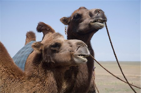 Camels in Mongolia Stock Photo - Premium Royalty-Free, Code: 621-03597174