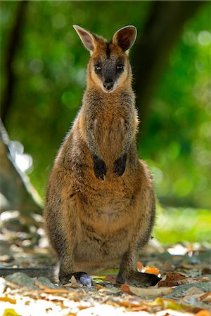 PARMA WALLABY Stock Photo - Premium Royalty-Free, Code: 621-03597772