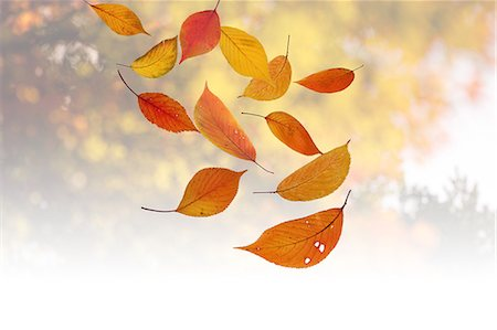 Floating Autumn Leaves, Mid-Air Stock Photo - Premium Royalty-Free, Code: 622-06191073