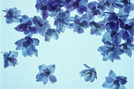 Floating Bright Blue Flowers Stock Photo - Premium Royalty-Free, Code: 622-06191137
