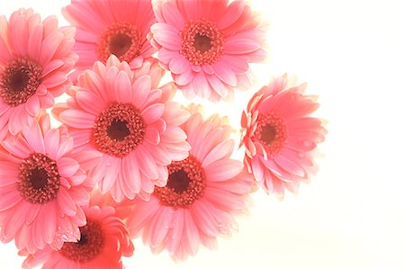Pink Gerbera Daisies On White Background Stock Photo - Premium Royalty-Free, Code: 622-06191139