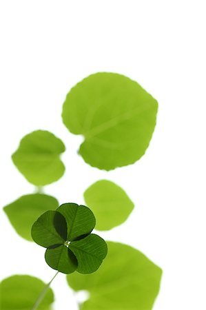 Bright Four Leaf Clover On White Background Stock Photo - Premium Royalty-Free, Code: 622-06191211