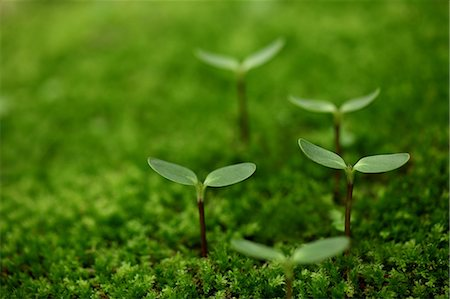 sprout - New Plants Growing In Moss, Green Stock Photo - Premium Royalty-Free, Code: 622-06191224