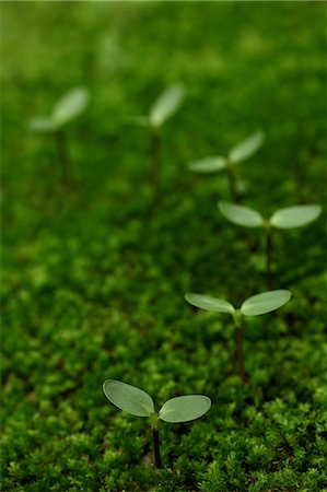 New Plants Growing In Moss, Green Stock Photo - Premium Royalty-Free, Code: 622-06191226
