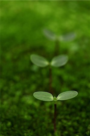 sprout - New Plant Growing In Moss, Green Stock Photo - Premium Royalty-Free, Code: 622-06191228