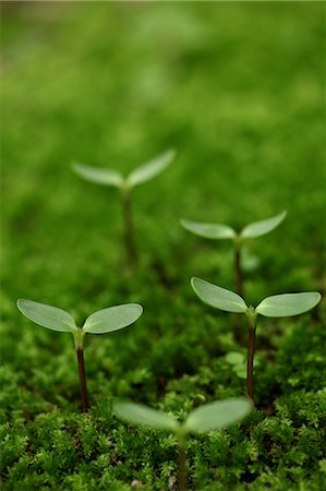 sprout - Saplings In Moss, Green Stock Photo - Premium Royalty-Free, Code: 622-06191223