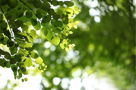 spring background - Lit Green Leaves, Close-Up View Stock Photo - Premium Royalty-Free, Code: 622-06191237