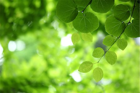 Bright Green Leaves, Close-Up View Stock Photo - Premium Royalty-Free, Code: 622-06191240