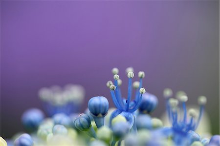 spring background - Pistil And Bud, Blue Flowers Stock Photo - Premium Royalty-Free, Code: 622-06191267