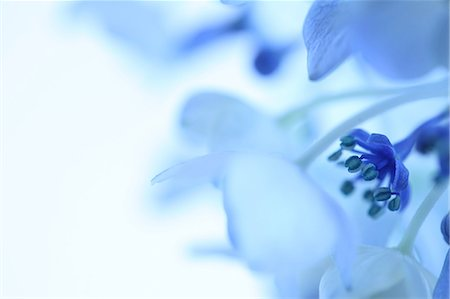 Close-Up View Of Blue Flower Stock Photo - Premium Royalty-Free, Code: 622-06191277
